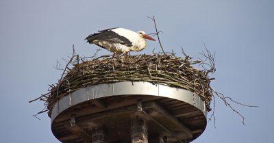 Storchennest in Auhagen